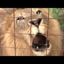 Big Cat Talk! - Roar, Purr, Meow / Biggest Cat That Purrs And Meows