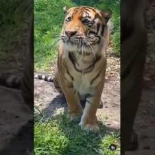 Tiger meow 😂🐯