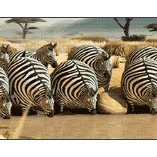 Inflatable-zebras-crocodile-surprise