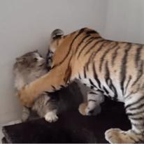 고양이 vs 호랑이