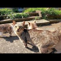新たに出会った茶トラ猫とどこまでも付いてくる島猫達