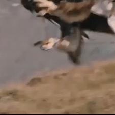독수리의 먹이사냥