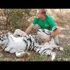 Мы с тобой одной крови - человек и тигр. Тайган. Tigress trusts her human. Taigan