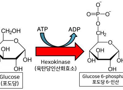 [생화학] 세포호흡 Part I (에너지 투자기)
