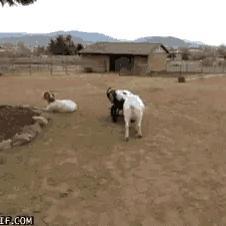 수레타고 노는 염소들