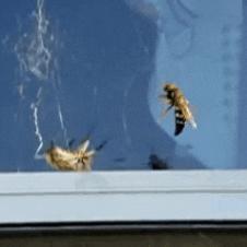 거미 vs 말벌