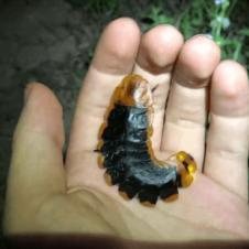 반딧불 애벌레