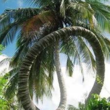 신기한 야자나무
