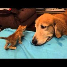Introducing New Kitten to the Dog