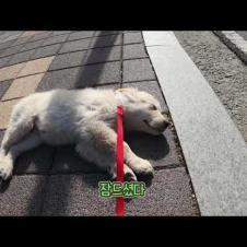 Sub)산책하다 자는 강아지😣|새끼강아지🐾 생후85일 리트리버 | doggo