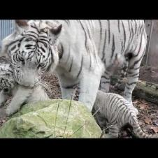 伊豆アニマルキングダム ホワイトタイガーの赤ちゃん