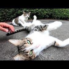 駐車場にいた二人組の猫、撫でられるとゴロンゴロン転がってカワイイ
