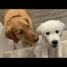 Golden Retriever Dog Teaches Sassy English Cream Puppy How to Climb Stairs for the First Time