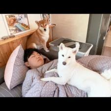 강아지 키우는게 피곤한 이유 (잠자는 주인 깨우는 강아지)