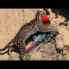Принц джунглей! Невидимый лесной охотник на попугаев и игуан - ОЦЕЛОТ В ДЕЛЕ!