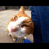 海辺の道を歩いていたら茶トラ野良猫がモフられにきた