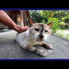 神社にいた猫をナデナデしたらゴロゴロ音が鳩みたいでカワイイ