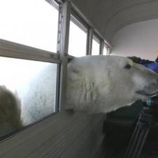 북극곰의 공격