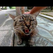 神社の境内でキジトラ猫をナデナデしていたら黒猫も駆け寄ってきた