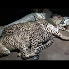 Do Cheetahs Prefer Cold Hard Concrete Or Warm Blankets Pillow & A Friend? | Three BIG CAT Night