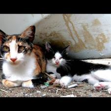 遊び疲れて母猫に甘える子猫