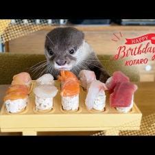 수달 Kotaro Happy Sushi Birthday!